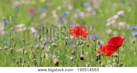 background wildflower meadow mit red corn poppy
