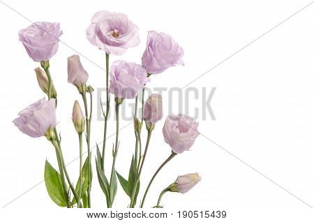 Beautiful Pale Violet Eustoma Flowers Isolated On White Background