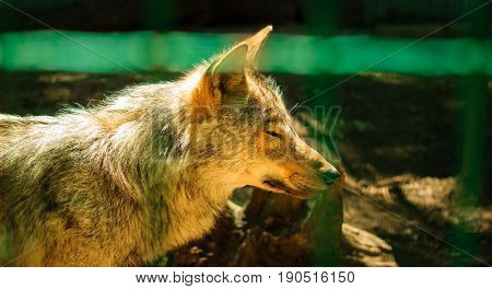 Gray wolf screwed up his eyes in the sun he warms his hair brightly lit