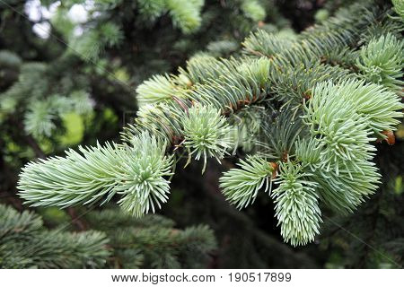 Spruce branches decorative natural fir. Christmas tree needles - fluffy and fresh. Nature of the forest in the Park.