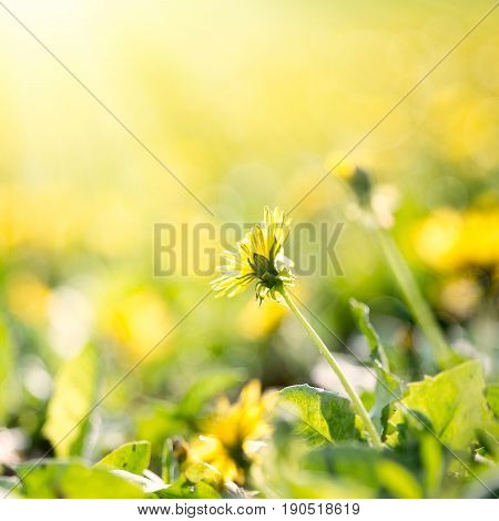 Dandelion field in sunrise nature abstract background summer time