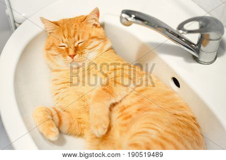 Cute red cat lies in the washbasin in the bathroom.