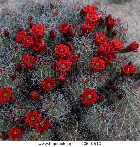 Claret Cup Cactus Covered In Red Blooms