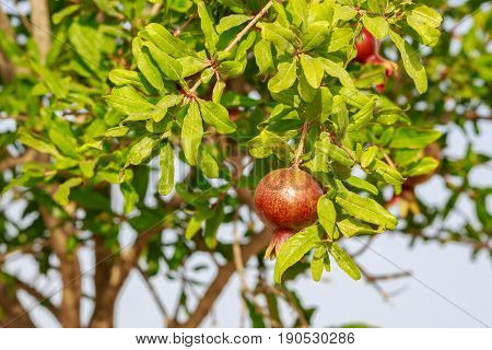 Small Brown Fruit Of Pomegranate