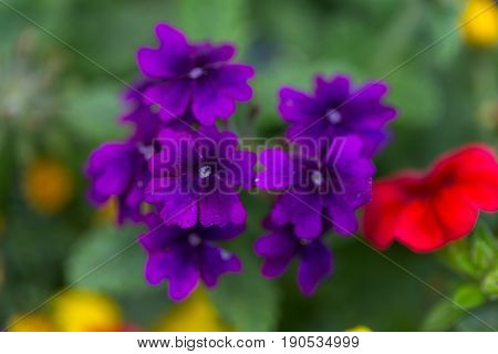 Tiny Violet Dark Purple Flowers With Green Leaves On The Blurry Background - Macro Image