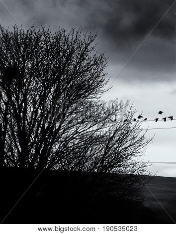 roosting starlings perched on a telephone wire in the evening