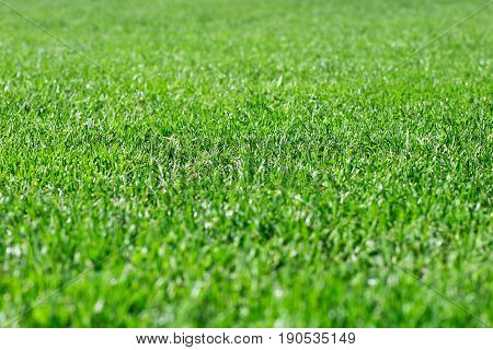 Green grass in a sunny summer day texture and background. Detailed close up macro bright colorful vital vibrant happiness.