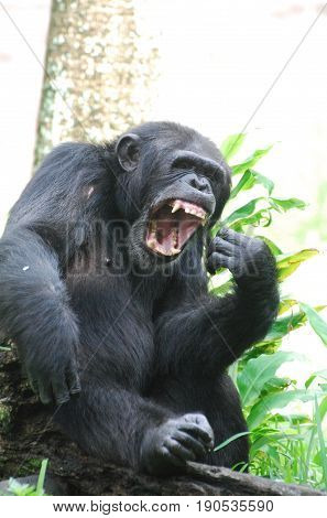 Amazing chimpanzee with his mouth wide open.