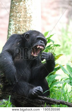 Chimpanzee with his mouth wide open showing off his teeth.
