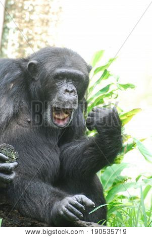 Silly chimp lip synching and playing an air guitar.