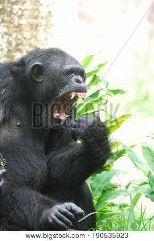 Cute side view of a chimp with his mouth open wide.