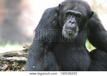 Chimpanzee with a solemn expression on his face.
