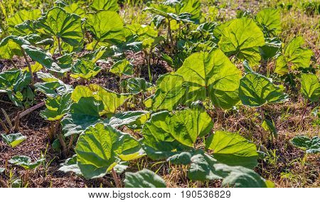 Many large translucent leaves of the butterbur or Petasites hybridus plant on a sunny day in springtime. According to the herbal medicine the leaves have medicinal properties