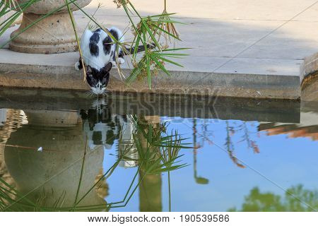 Feral cat is drinking water from pond in the city