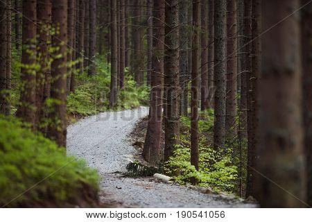 Pine Forest Trailhead in Lesser Poland Europe.