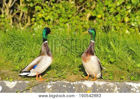 Couple of Mallard Ducks Whit the head Held High and looking each other