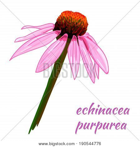 Echinacea purpurea VECTOR sketch. Hand drawn illustration. Flower isolated on white background