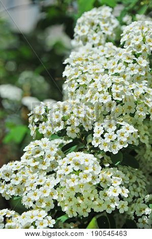 Spiraea alpine spring flower white flowering shrub