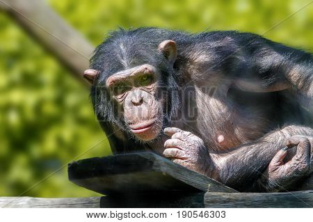 Animal image of an anthropoid ape of a chimpanzee