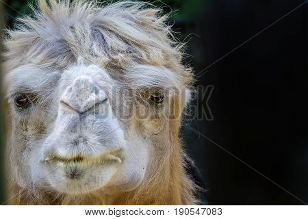 Picture of an adult pet camel head
