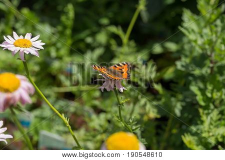 Butterfly - Orange, White And Black - Landed On A White Daisy Flower In Close Up Macro Image With Gr