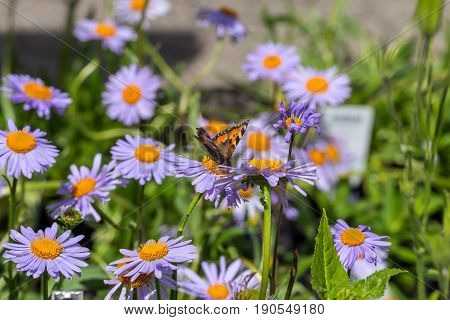 Butterfly - Orange, White And Black - Landed On A Purple Dome Lilac Daisy Flower In Close Up Macro I