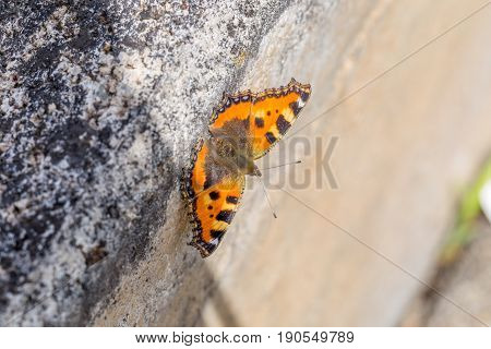 Open Wings Butterfly Sits On A Stone Wall With Sun Partially Hitting It - Orange, White And Black