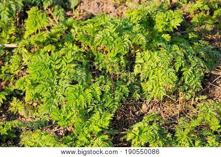 Green hemlock spotted plants (Conium Maculatum) on meadow