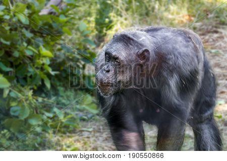 Anthropoid Ape Of A Chimpanzee