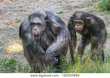 Animals Two Chimps Walking On Grass