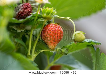 Strawberry Tree Plant With Some Fruits Ripe And Decaying - Macro Image