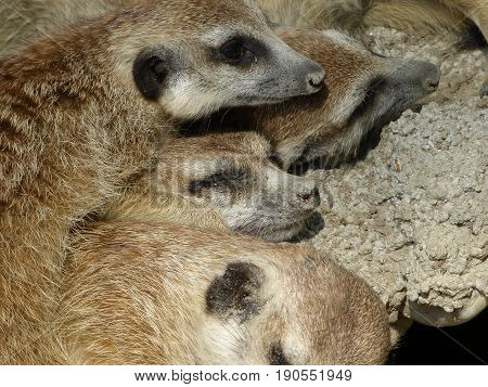 Portrait of group of meerkats lying together