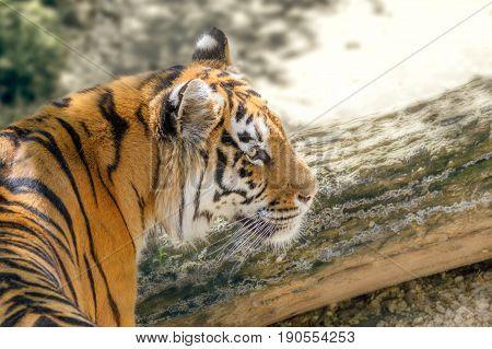 Image wild animal striped predator amur tiger