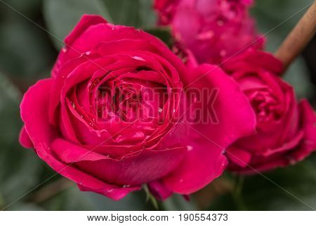 Red  Augusta Luise Rose In Close Up Macro Image With Green Leaves Blurry Background