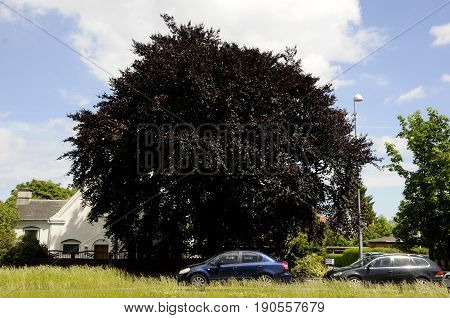 Copenhagen /Denmark - 10 June 2017. Dark brown leave tree. (Photo.Francis Joseph Dean/Deanpictures)