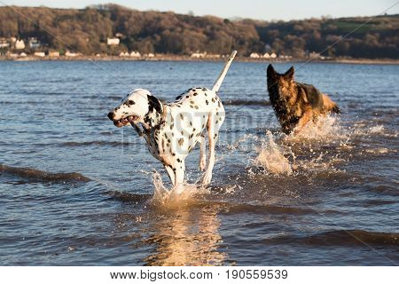 Two Dogs Playing Together With A Stick In The Sea