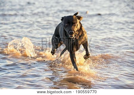 Black Dog Running Free In The Sea Trailing His Lead In Th Ewater