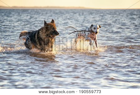 Dogs Running Through The Sea With A Stick Playing