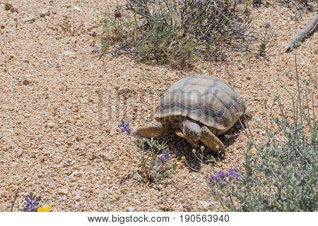 Desert Tortoise Crosses Brush In Joshua Tree