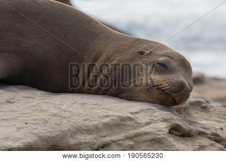 Groggy Sea Lion Opens Eye