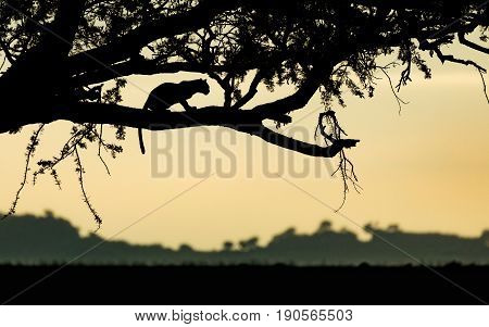 Adult Leopard resting in a tree at sunrise in Tanzania's Serengeti National Park
