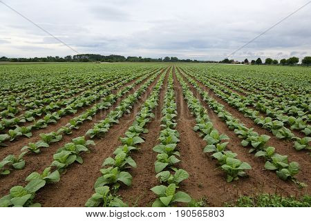Agriculture / Tobacco Plantation / Growing tobacco