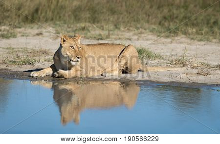 Female African Lion lying next to water with reflection Savuti area of Chobe National Park in Botswana