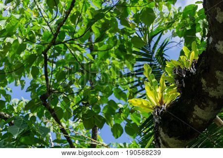 Birds nest fern in bright green focus on branch above in luxuriant green bush environment and tree canopy Niue