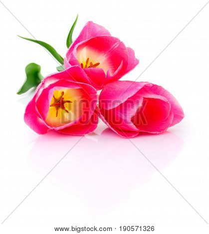 Three beautiful pink tulips isolated on white background.