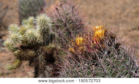 Blooming Fishhook Barrel Cacti (Ferocactus wislizenii) and Teddy-Bear Chollas (Cylindropuntia bigelovii) along the Apache Wash Trail at the Phoenix Sonoran Preserve Arizona USA