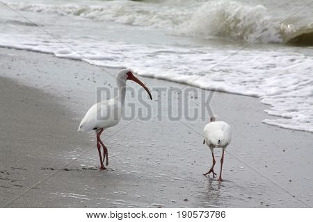 White Ibis walking at the beach on Sanibel Island, Florida