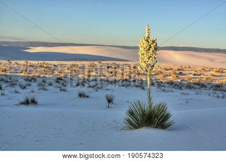 Yucca in full bloom at White Sands National Monument.