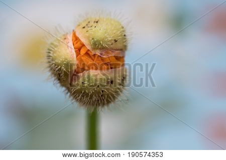 Close up view of a Welsh poppy bulb