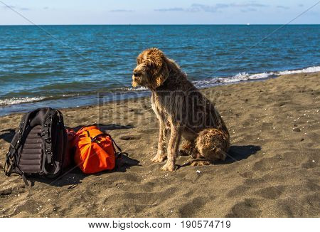 A dog sits near bagage on the beach. Bag backpack under reliable protection.